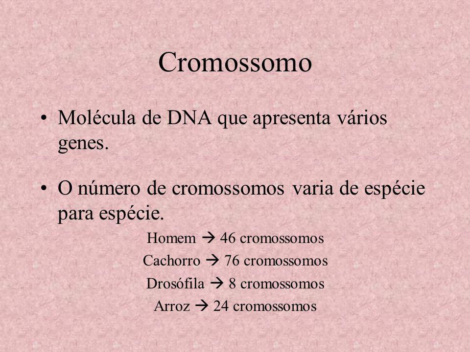 Cromossomo Molécula de DNA que apresenta vários genes. O número de cromossomos varia de espécie para espécie. Homem 46 cromossomos Cachorro 76 cromoss