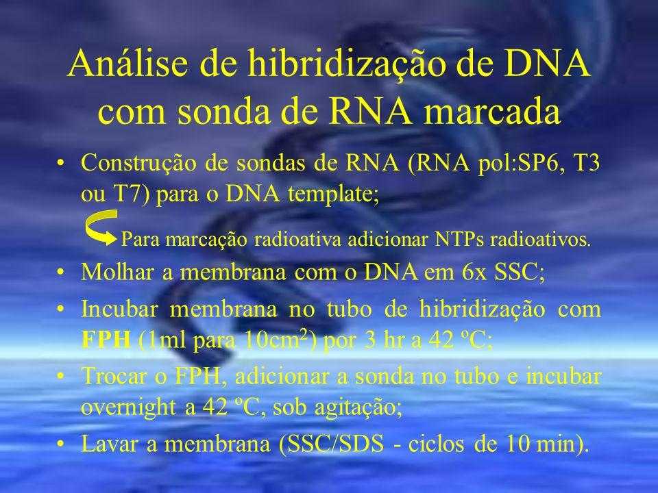 Análise de hibridização de DNA com sonda de RNA marcada Construção de sondas de RNA (RNA pol:SP6, T3 ou T7) para o DNA template; Para marcação radioat