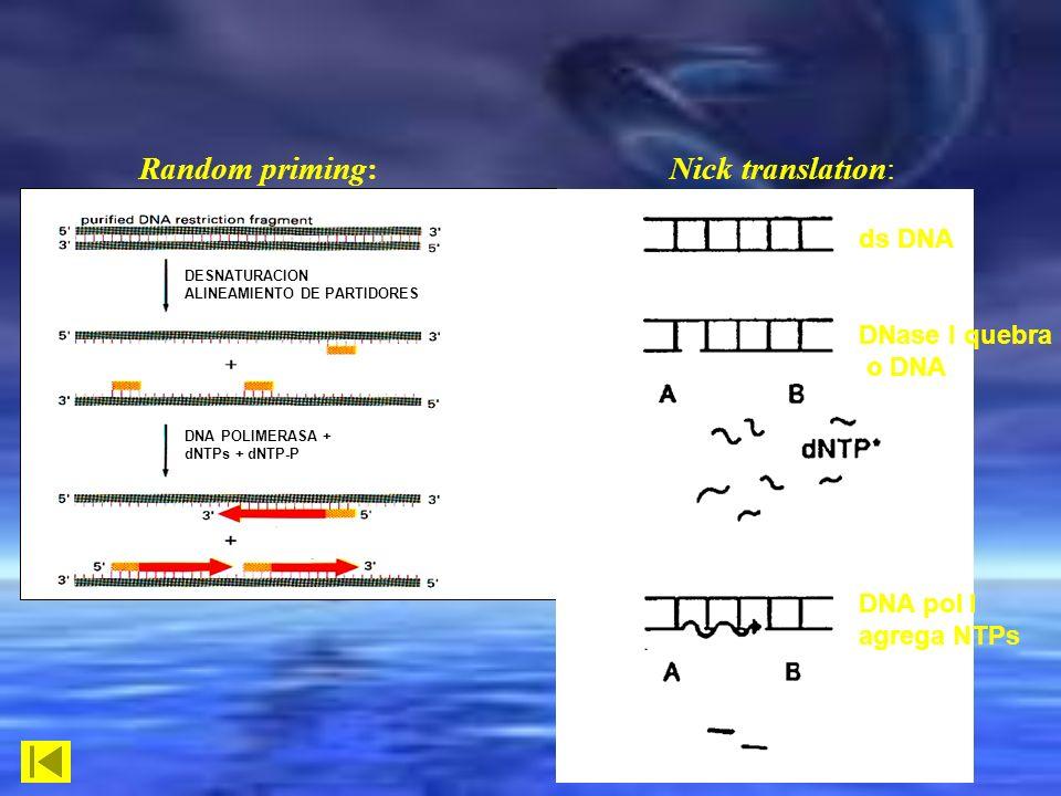Random priming: Nick translation: DESNATURACION ALINEAMIENTO DE PARTIDORES DNA POLIMERASA + dNTPs + dNTP-P ds DNA DNase I quebra o DNA DNA pol I agreg