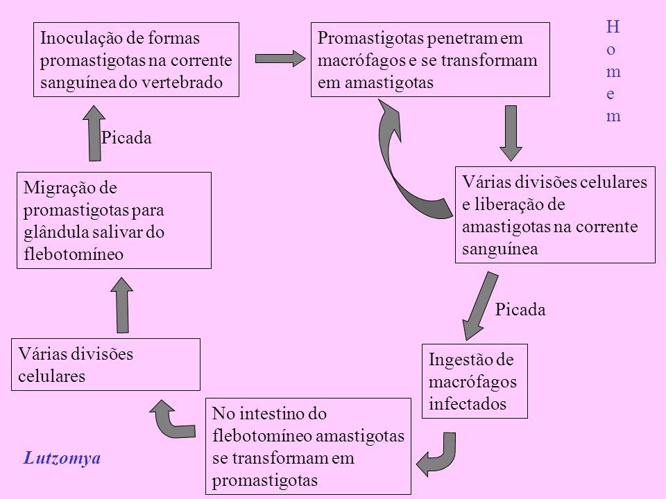 Inoculação de formas promastigotas na corrente sanguínea do vertebrado Promastigotas penetram em macrófagos e se transformam em amastigotas Várias div