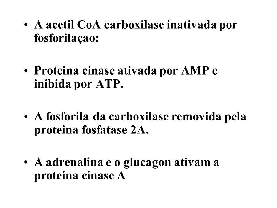 A acetil CoA carboxilase inativada por fosforilaçao: Proteina cinase ativada por AMP e inibida por ATP. A fosforila da carboxilase removida pela prote