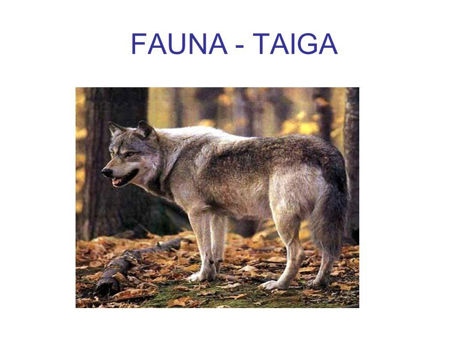 FAUNA - TAIGA