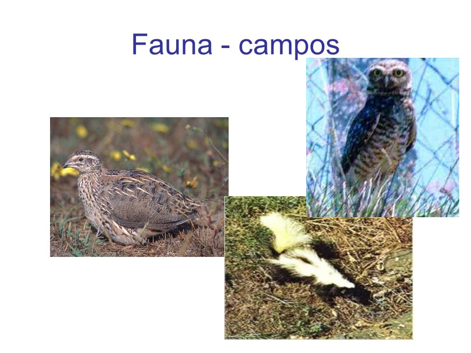 Fauna - campos