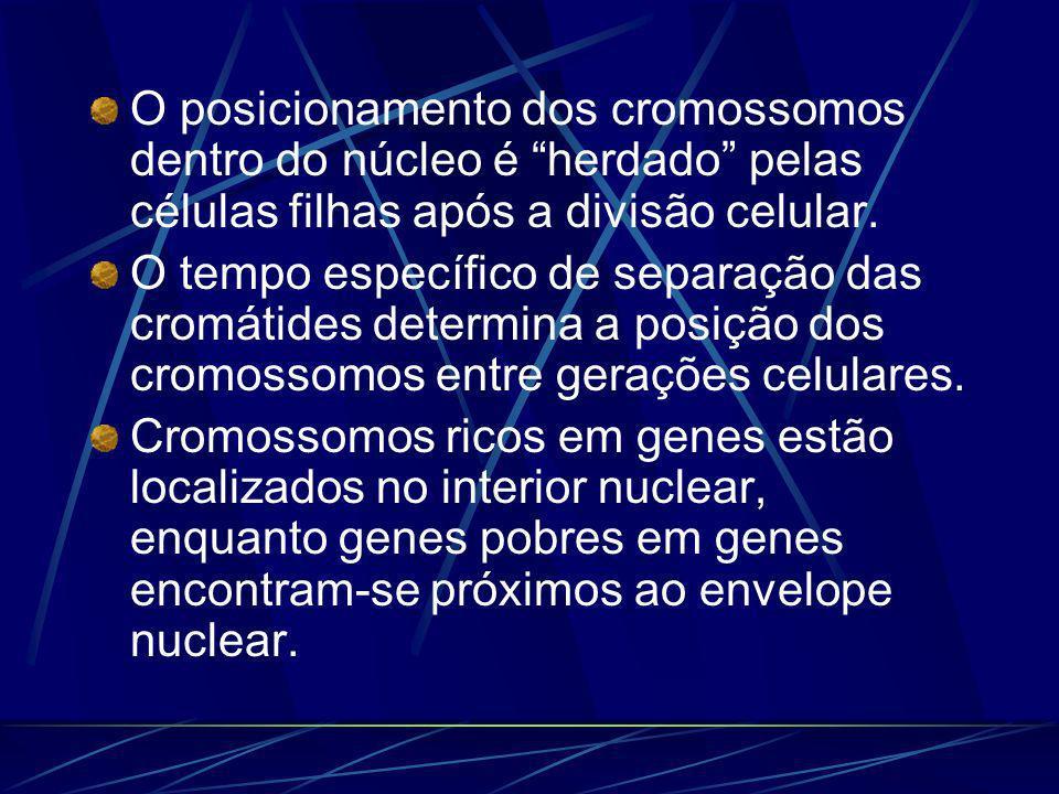 O posicionamento dos cromossomos dentro do núcleo é herdado pelas células filhas após a divisão celular. O tempo específico de separação das cromátide