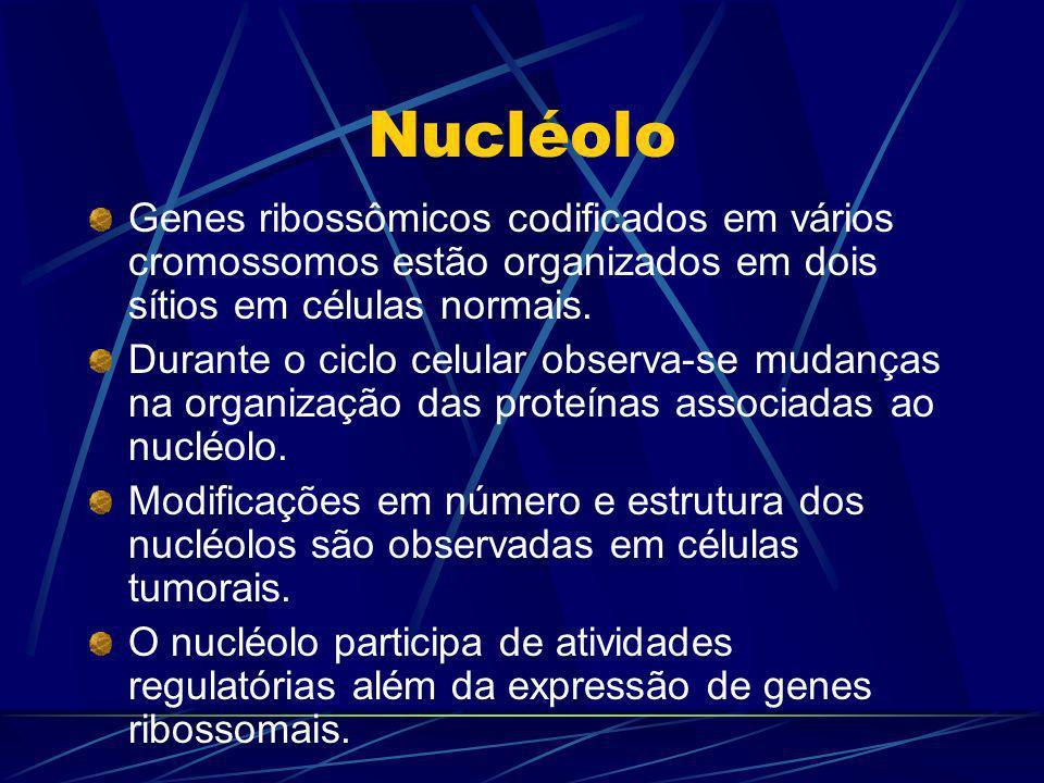 Nucléolo Genes ribossômicos codificados em vários cromossomos estão organizados em dois sítios em células normais. Durante o ciclo celular observa-se
