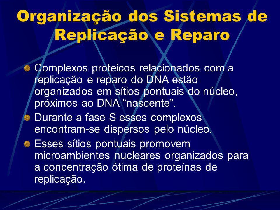 Organização dos Sistemas de Replicação e Reparo Complexos proteicos relacionados com a replicação e reparo do DNA estão organizados em sítios pontuais