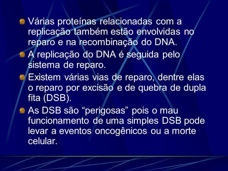Várias proteínas relacionadas com a replicação também estão envolvidas no reparo e na recombinação do DNA. A replicação do DNA é seguida pelo sistema