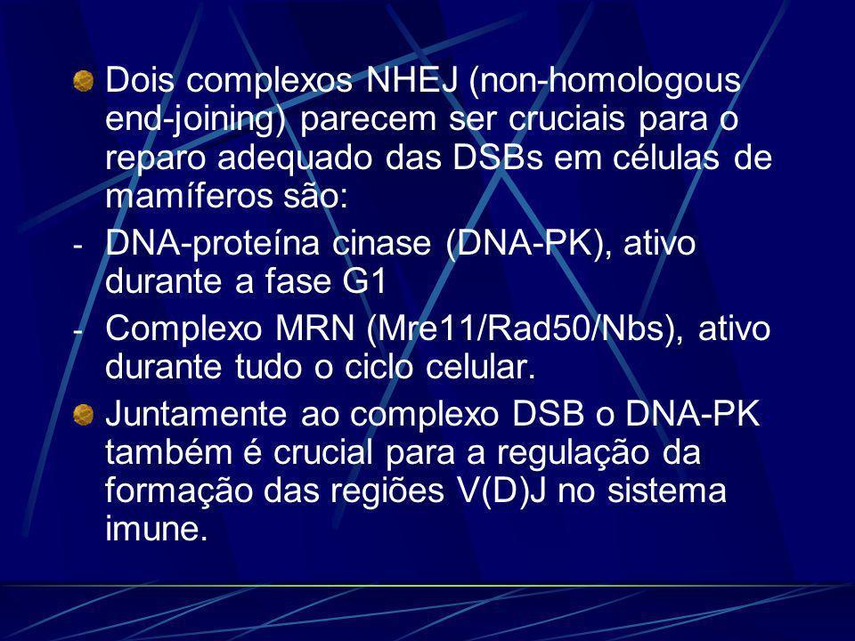 Dois complexos NHEJ (non-homologous end-joining) parecem ser cruciais para o reparo adequado das DSBs em células de mamíferos são: - DNA-proteína cina