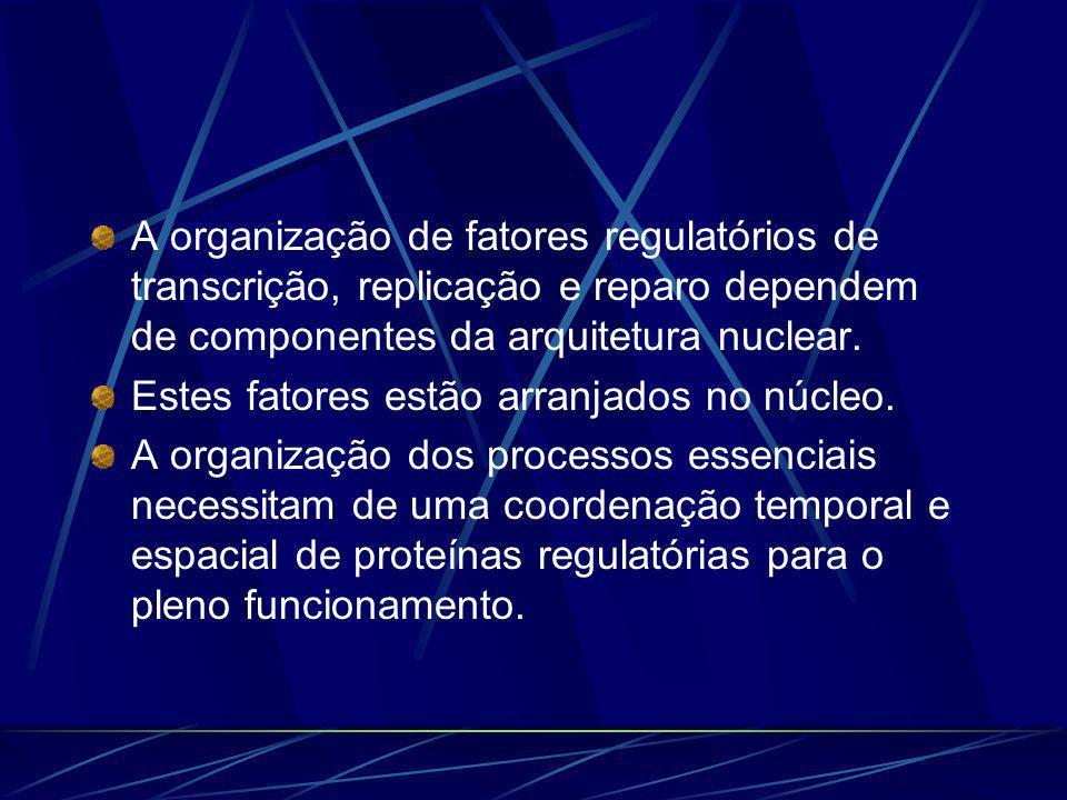 A organização de fatores regulatórios de transcrição, replicação e reparo dependem de componentes da arquitetura nuclear. Estes fatores estão arranjad