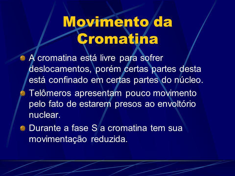 A extensão e mobilidade da cromatina são modulados por interações da própria cromatina e estruturas nucleares (carioteca, nucléolo).