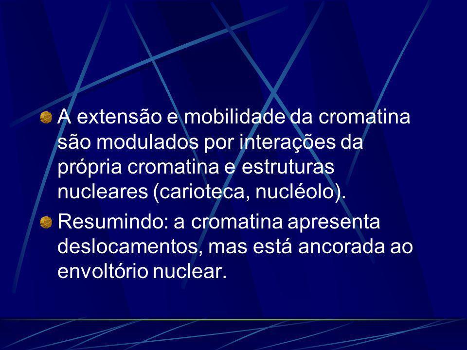 A extensão e mobilidade da cromatina são modulados por interações da própria cromatina e estruturas nucleares (carioteca, nucléolo). Resumindo: a crom