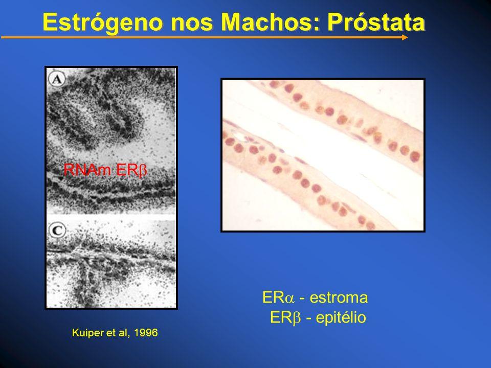 ER - estroma ER - epitélio RNAm ER Kuiper et al, 1996 Estrógeno nos Machos: Próstata