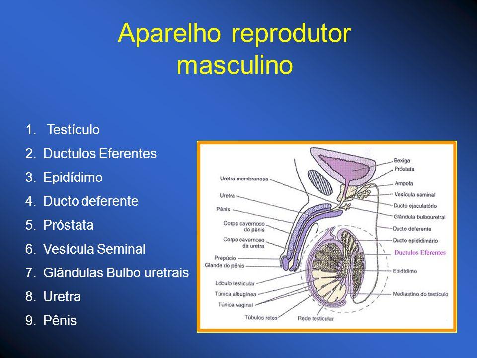 Aparelho reprodutor masculino 1. Testículo 2.Ductulos Eferentes 3.Epidídimo 4.Ducto deferente 5.Próstata 6.Vesícula Seminal 7.Glândulas Bulbo uretrais