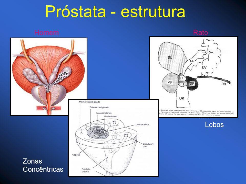 Próstata - estrutura HomemRato Zonas Concêntricas Lobos