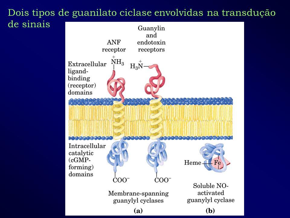 Dois tipos de guanilato ciclase envolvidas na transdução de sinais