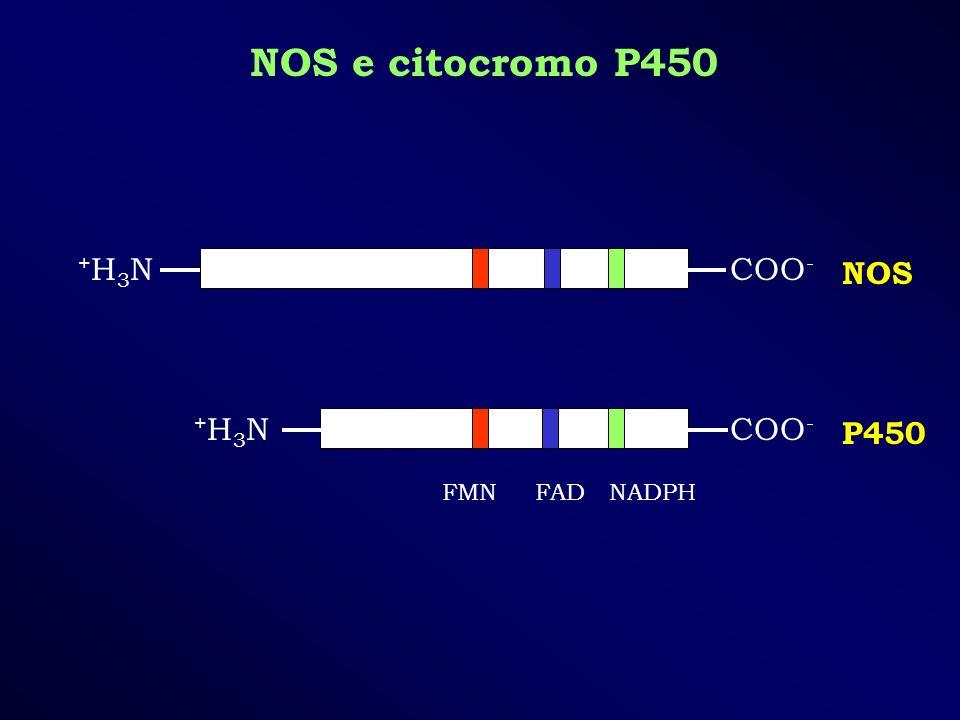 NOS e citocromo P450 COO - +H3N+H3N +H3N+H3N FMN FAD NADPH NOS P450