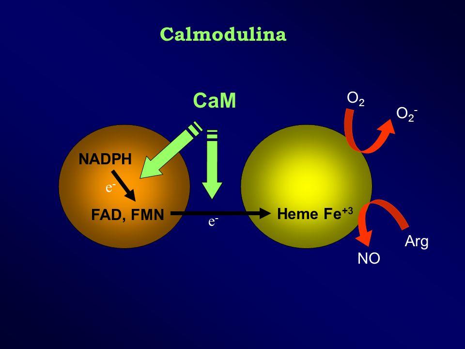 Calmodulina NADPH FAD, FMN Heme Fe +3 O2-O2- O2O2 Arg NO CaM e-e- e-e-