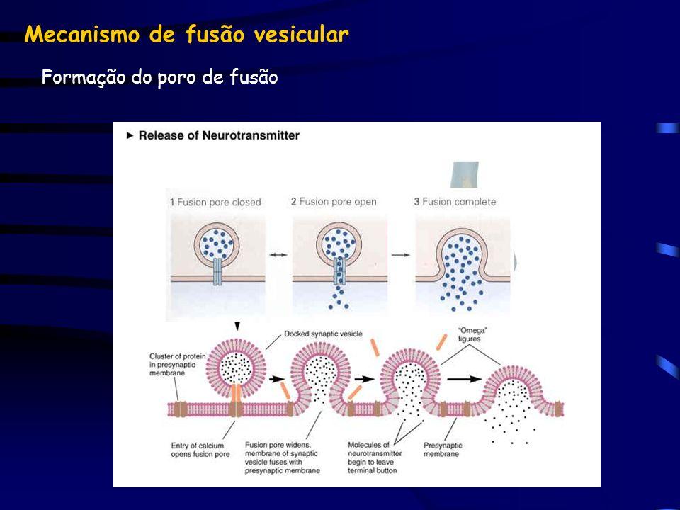 Mecanismo de fusão vesicular Formação do poro de fusão