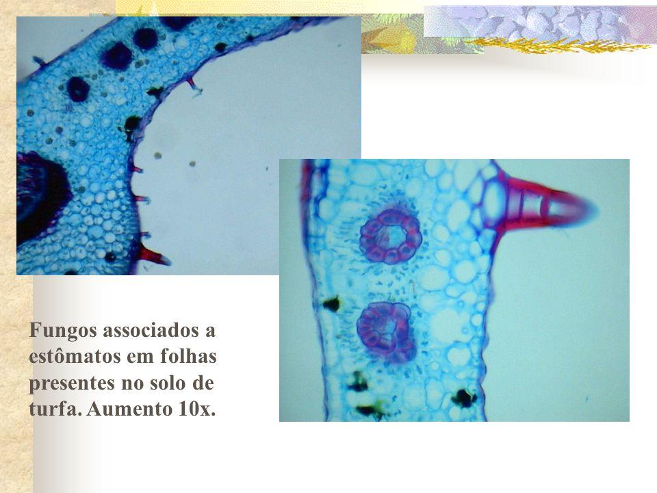 Fungos associados a estômatos em folhas presentes no solo de turfa. Aumento 10x.
