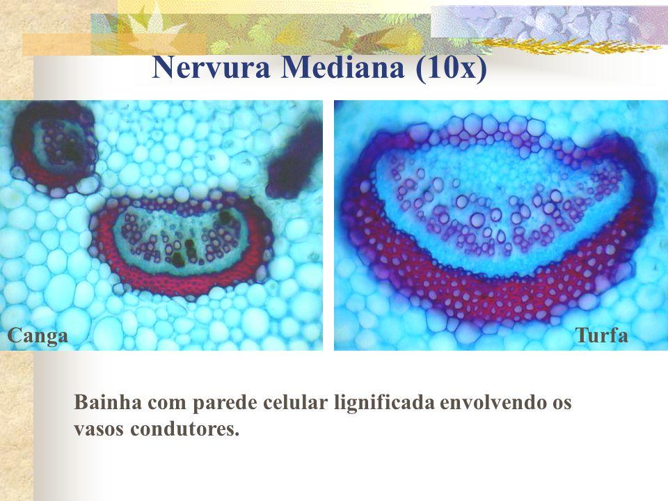 Lenticela (10x) Turfa Detalhe da lenticela em formação.
