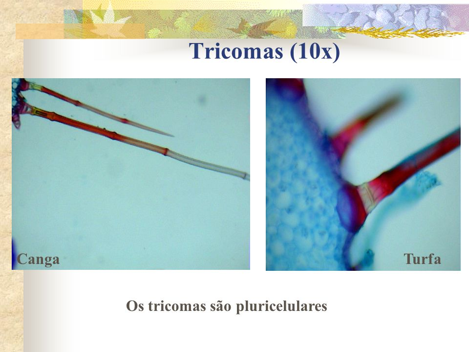 Tricomas (10x) CangaTurfa Os tricomas são pluricelulares