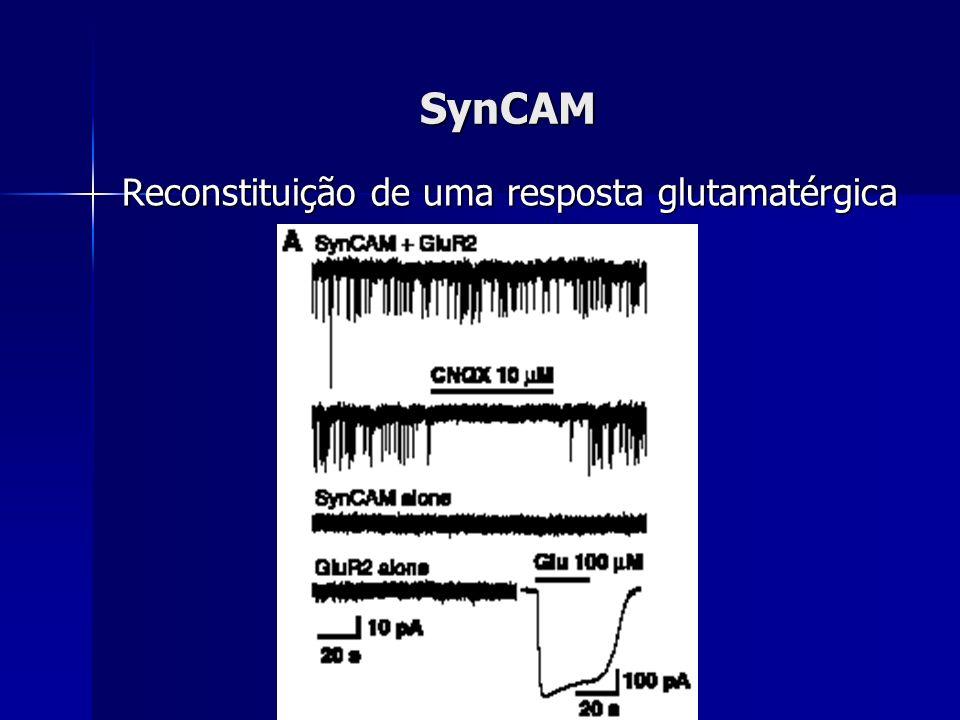 SynCAM Reconstituição de uma resposta glutamatérgica