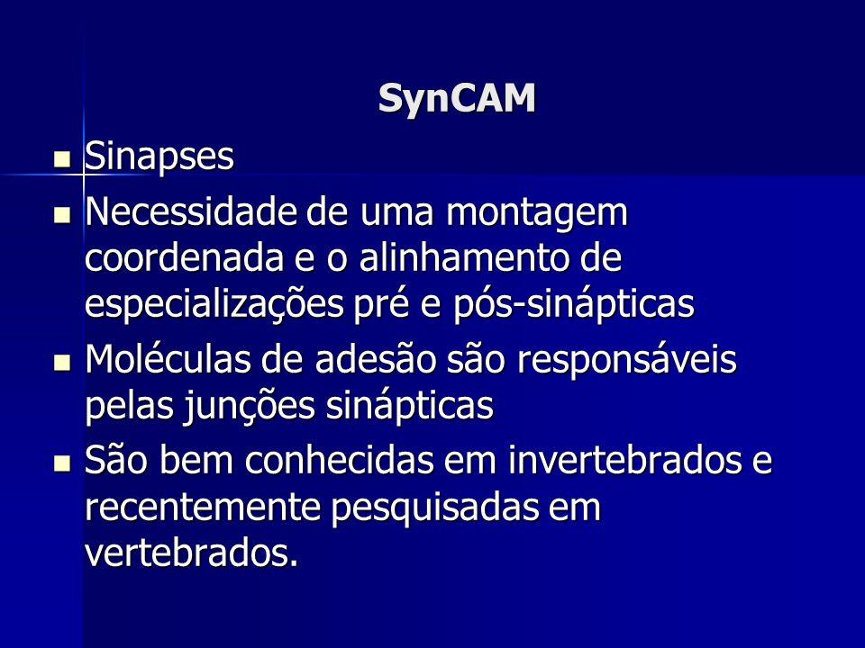 SynCAM Sinapses Sinapses Necessidade de uma montagem coordenada e o alinhamento de especializações pré e pós-sinápticas Necessidade de uma montagem coordenada e o alinhamento de especializações pré e pós-sinápticas Moléculas de adesão são responsáveis pelas junções sinápticas Moléculas de adesão são responsáveis pelas junções sinápticas São bem conhecidas em invertebrados e recentemente pesquisadas em vertebrados.