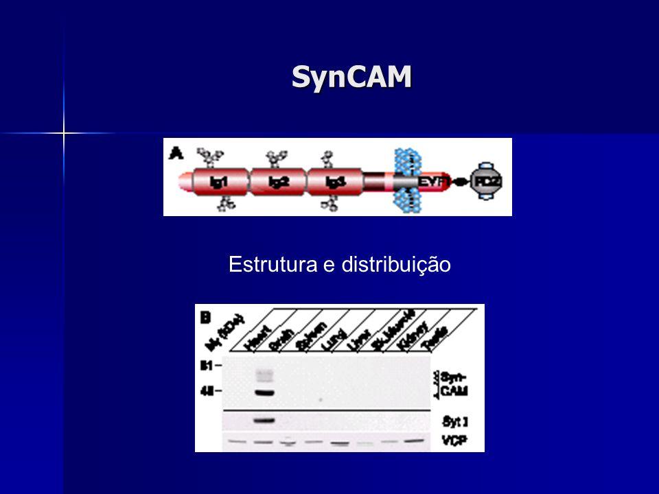 SynCAM Estrutura e distribuição