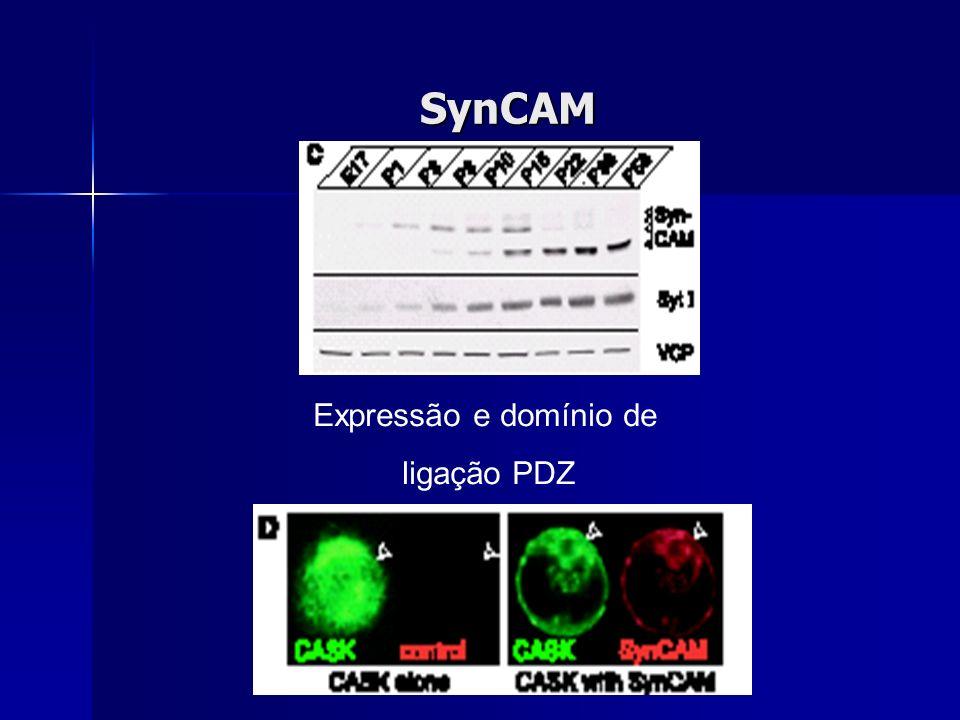 SynCAM Expressão e domínio de ligação PDZ