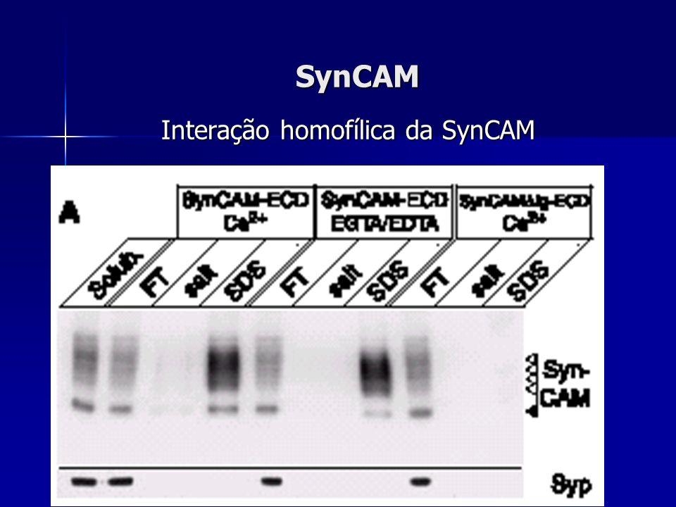 SynCAM Interação homofílica da SynCAM Interação homofílica da SynCAM
