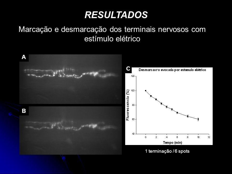 RESULTADOS Marcação e desmarcação dos terminais nervosos com estímulo elétrico A B C 1 terminação / 6 spots