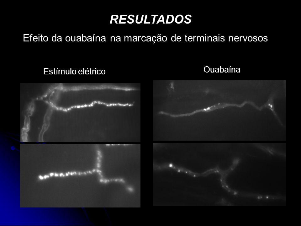 RESULTADOS Efeito da ouabaína na marcação de terminais nervosos Estímulo elétrico Ouabaína