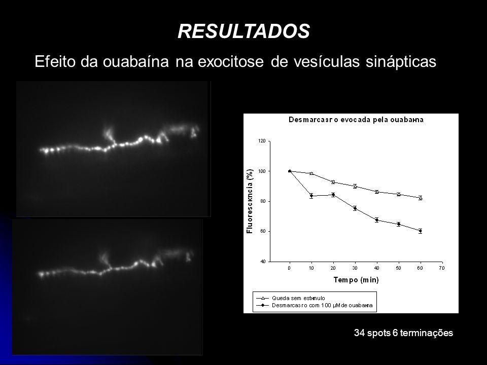 RESULTADOS Efeito da ouabaína na exocitose de vesículas sinápticas 34 spots 6 terminações