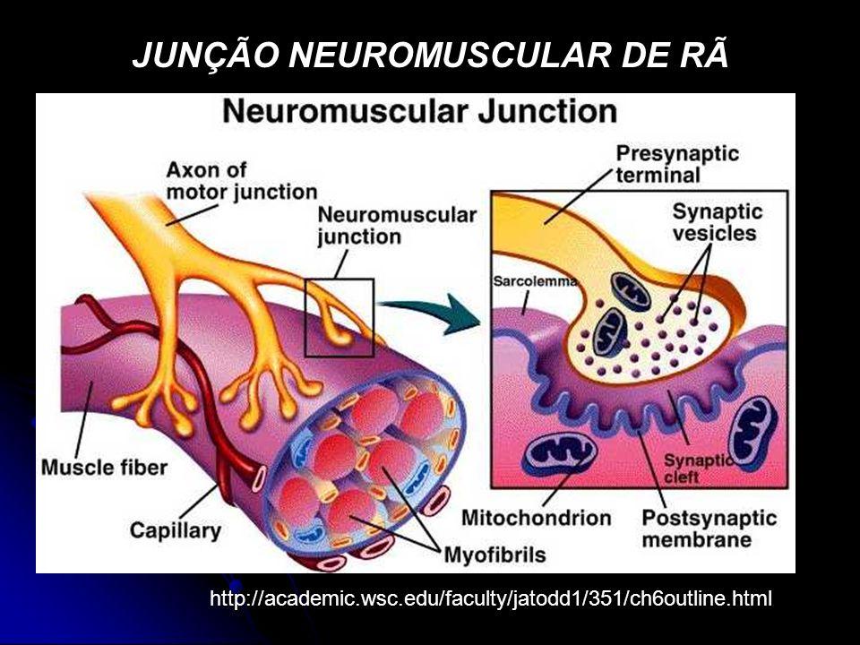 JUNÇÃO NEUROMUSCULAR DE RÃ http://academic.wsc.edu/faculty/jatodd1/351/ch6outline.html
