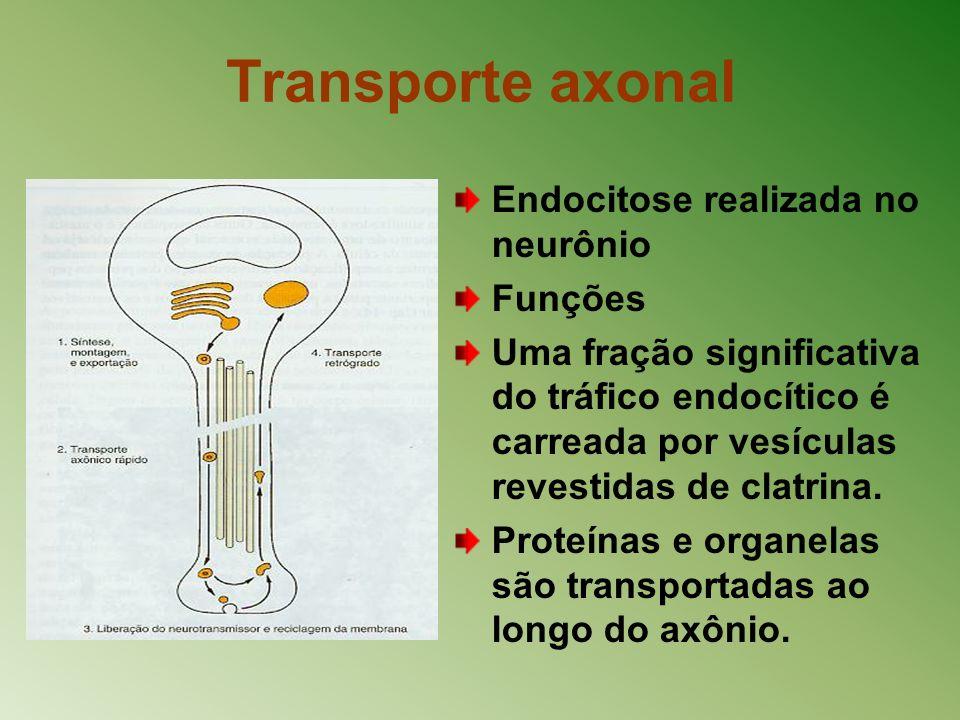 Transporte axonal Endocitose realizada no neurônio Funções Uma fração significativa do tráfico endocítico é carreada por vesículas revestidas de clatr