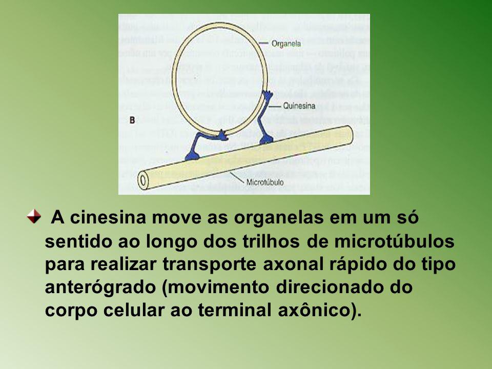 A cinesina move as organelas em um só sentido ao longo dos trilhos de microtúbulos para realizar transporte axonal rápido do tipo anterógrado (movimen