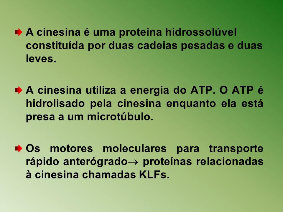 A cinesina é uma proteína hidrossolúvel constituída por duas cadeias pesadas e duas leves. A cinesina utiliza a energia do ATP. O ATP é hidrolisado pe