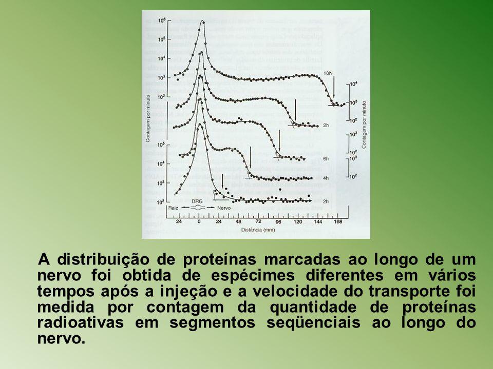 A distribuição de proteínas marcadas ao longo de um nervo foi obtida de espécimes diferentes em vários tempos após a injeção e a velocidade do transpo