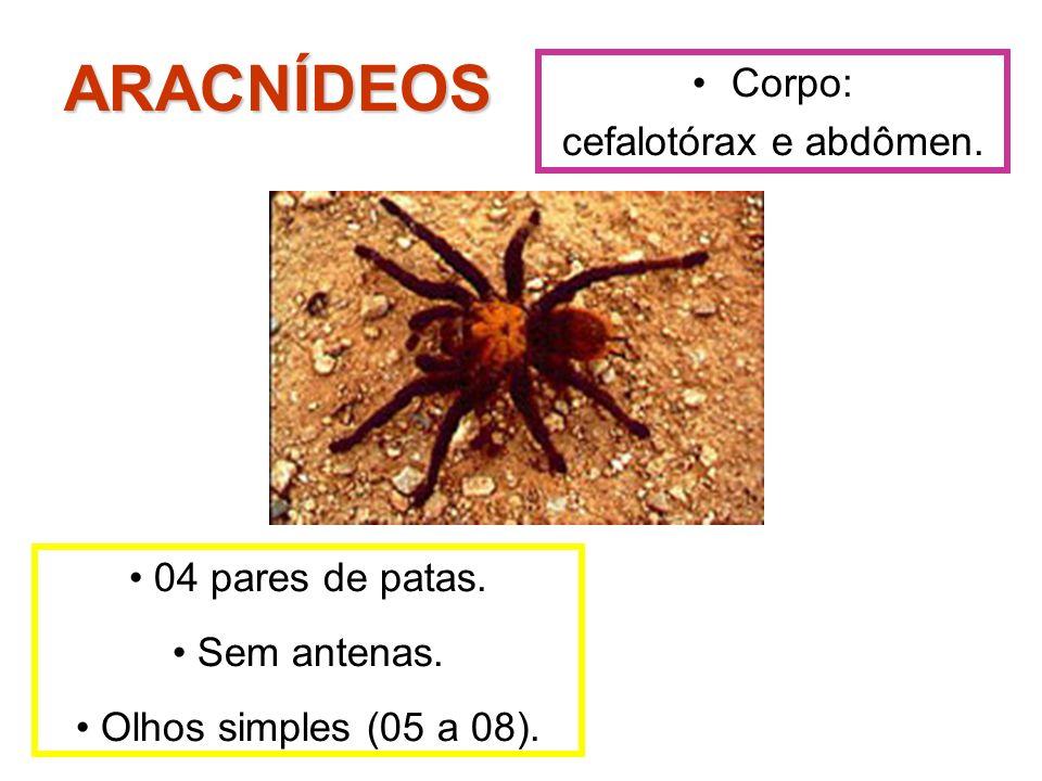 Corpo: cefalotórax e abdômen. ARACNÍDEOS 04 pares de patas. Sem antenas. Olhos simples (05 a 08).