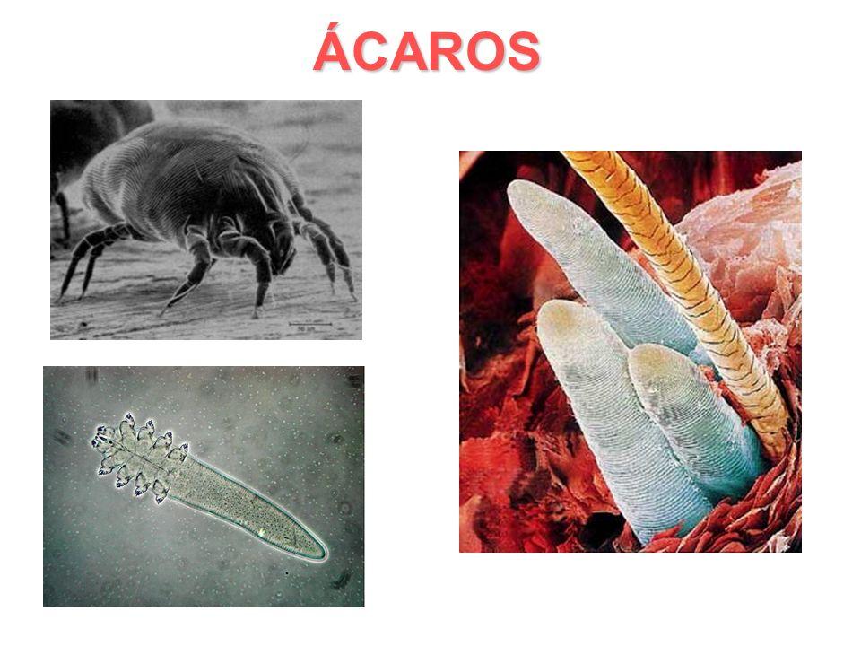 ÁCAROS