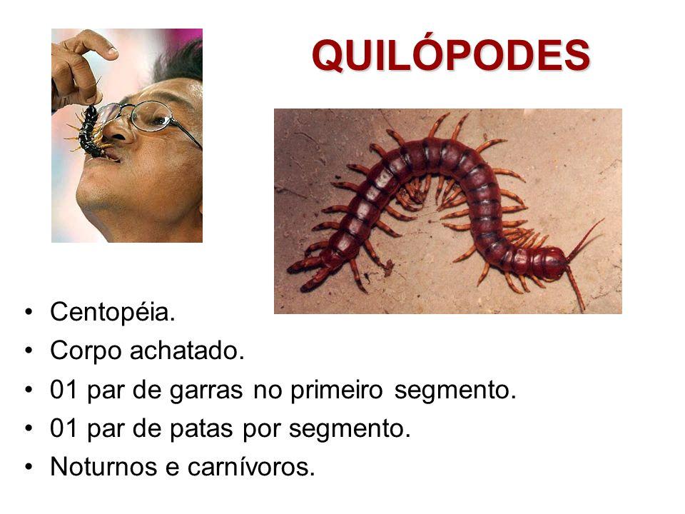 QUILÓPODES Centopéia. Corpo achatado. 01 par de garras no primeiro segmento. 01 par de patas por segmento. Noturnos e carnívoros.
