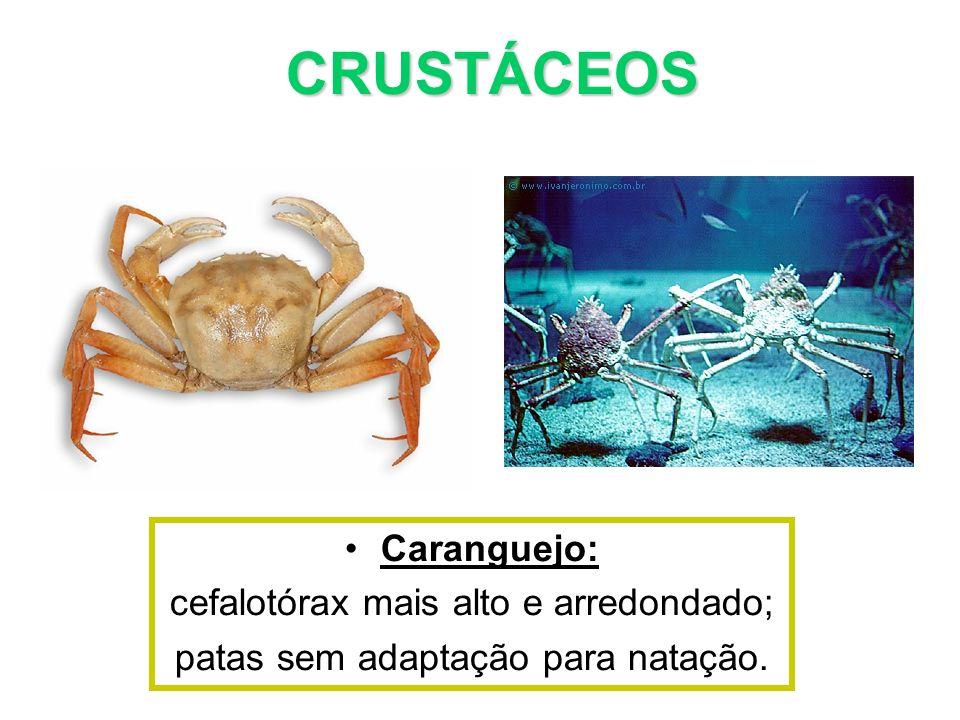 Caranguejo: cefalotórax mais alto e arredondado; patas sem adaptação para natação. CRUSTÁCEOS