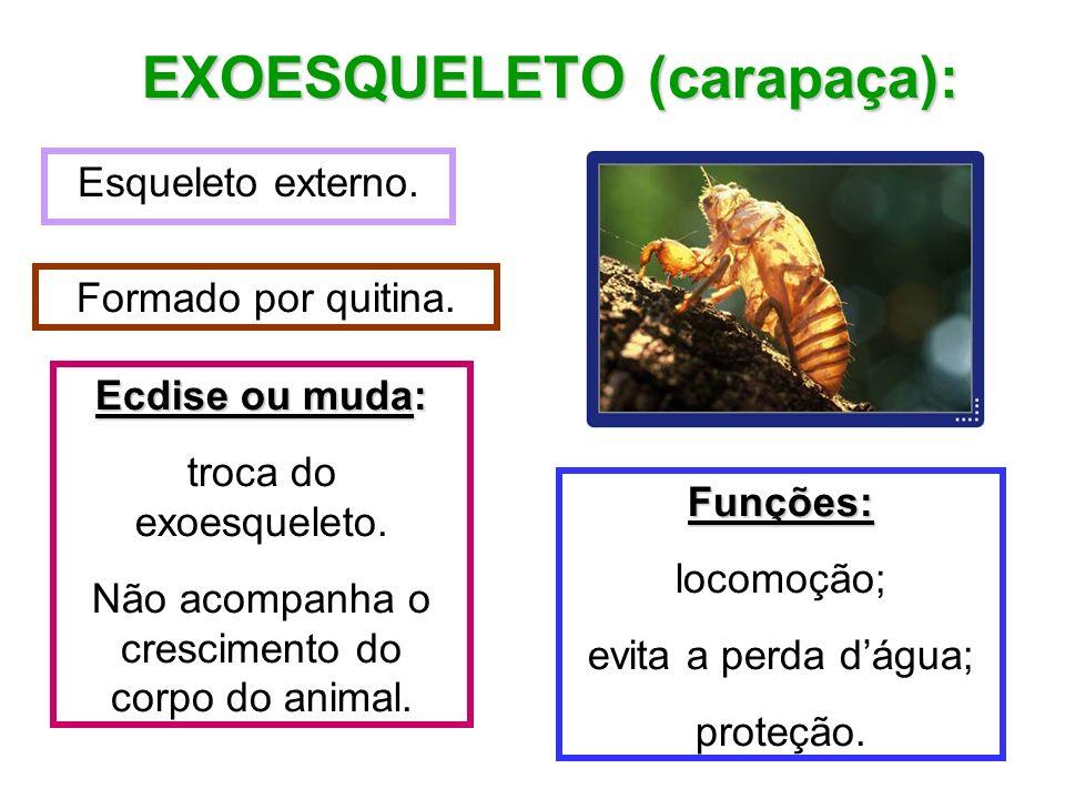 Esqueleto externo. EXOESQUELETO (carapaça): Formado por quitina. Funções: locomoção; evita a perda dágua; proteção. Ecdise ou muda: troca do exoesquel