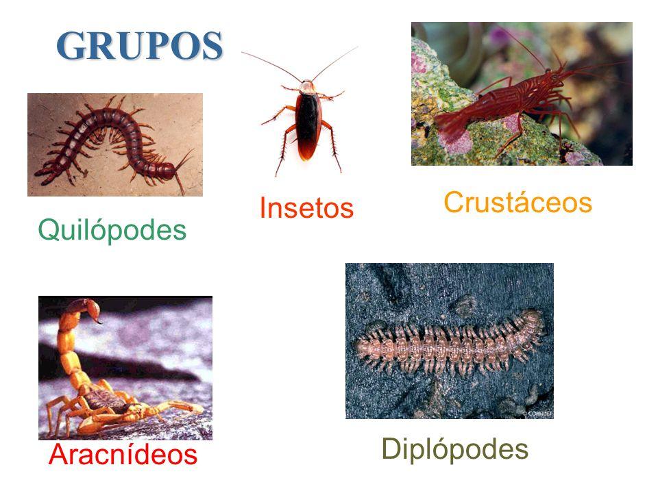 GRUPOS Insetos Crustáceos Aracnídeos Quilópodes Diplópodes