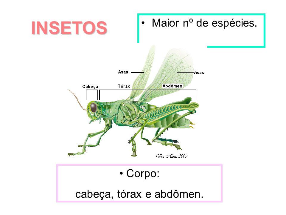 INSETOS Maior nº de espécies. Corpo: cabeça, tórax e abdômen.