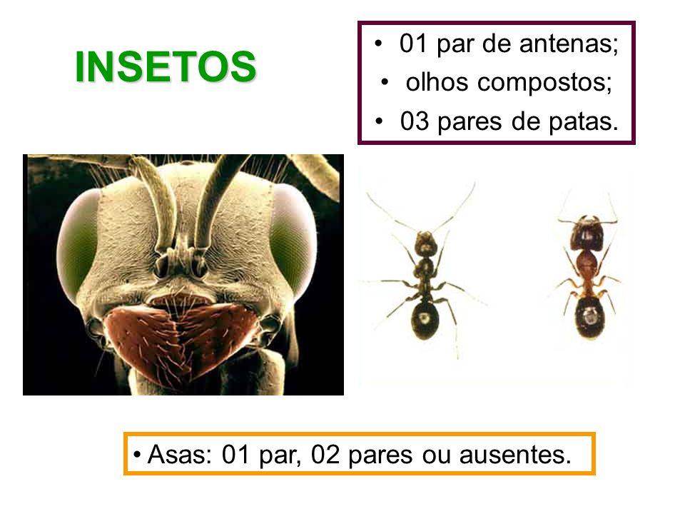 01 par de antenas; olhos compostos; 03 pares de patas. INSETOS Asas: 01 par, 02 pares ou ausentes.