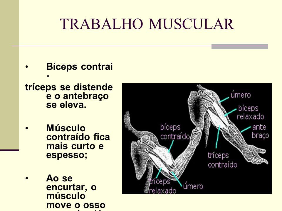 TRABALHO MUSCULAR Bíceps contrai - tríceps se distende e o antebraço se eleva. Músculo contraído fica mais curto e espesso; Ao se encurtar, o músculo