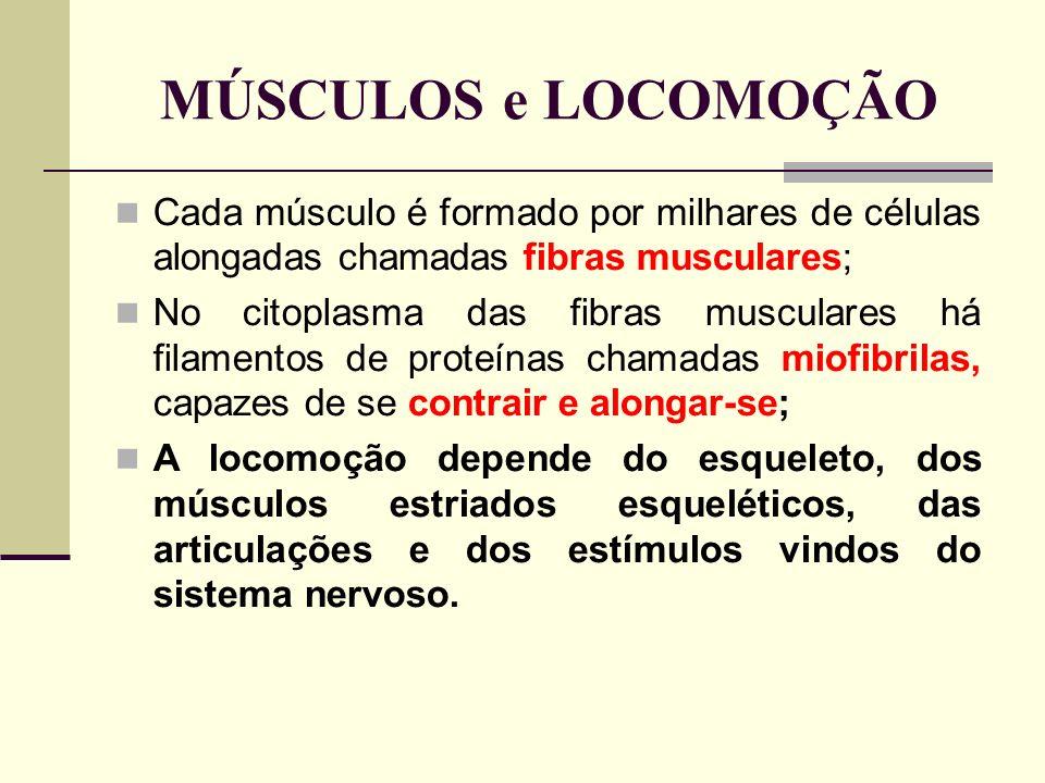 MÚSCULOS e LOCOMOÇÃO Cada músculo é formado por milhares de células alongadas chamadas fibras musculares; No citoplasma das fibras musculares há filamentos de proteínas chamadas miofibrilas, capazes de se contrair e alongar-se; A locomoção depende do esqueleto, dos músculos estriados esqueléticos, das articulações e dos estímulos vindos do sistema nervoso.