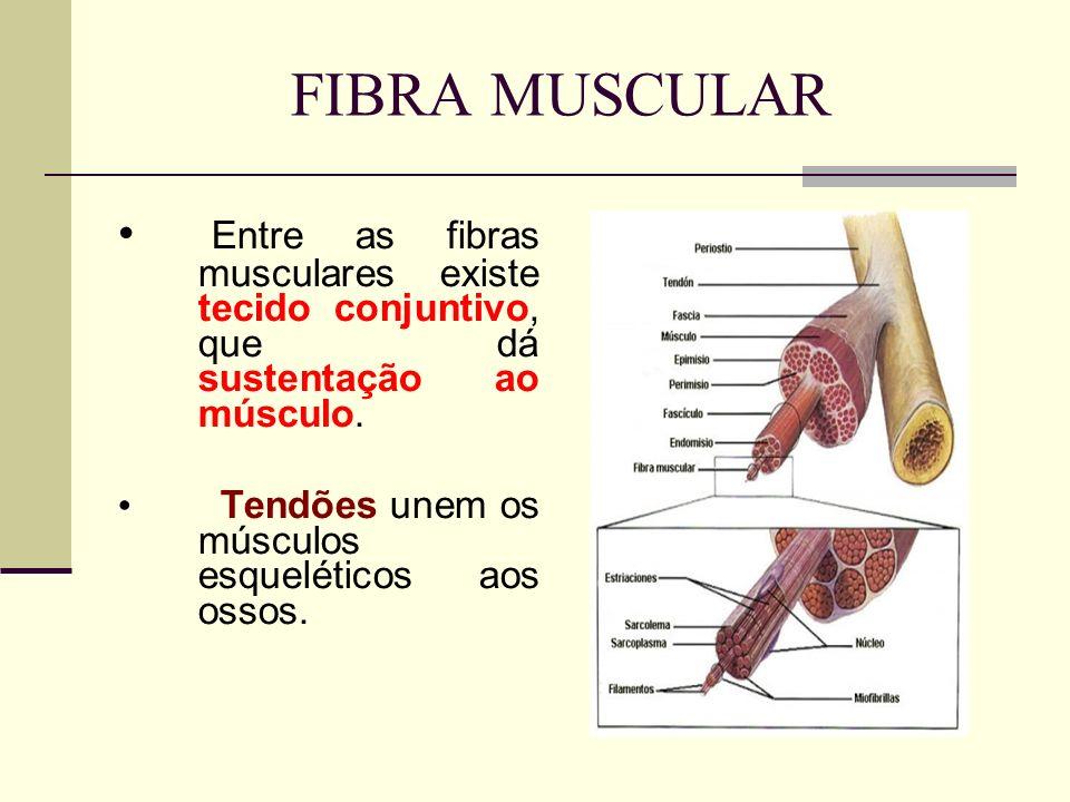 FIBRA MUSCULAR Entre as fibras musculares existe tecido conjuntivo, que dá sustentação ao músculo. Tendões unem os músculos esqueléticos aos ossos.