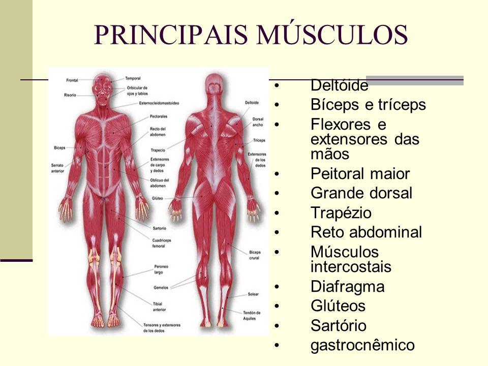 PRINCIPAIS MÚSCULOS Deltóide Bíceps e tríceps Flexores e extensores das mãos Peitoral maior Grande dorsal Trapézio Reto abdominal Músculos intercostais Diafragma Glúteos Sartório gastrocnêmico